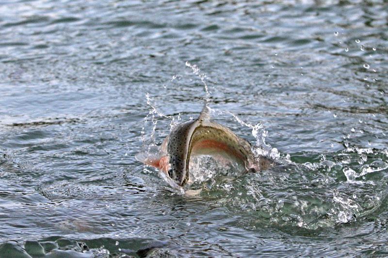wildzucht-hirschzucht-fischhzucht-walter-oitner-salzburg-oberoesterreich-tannberg-regenbogenforelle